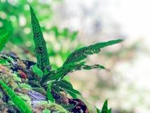 Zbliżenie natury widok zielony paprociowy liść na mechatym kamieniu z greenery tłem przy lasem obrazy stock