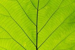 Zbliżenie natury zieleni liścia tekstura dla abstrakcjonistycznego tła Obraz Stock