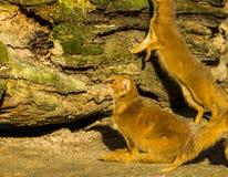 Zbliżenie nazwany czerwony meerkat żółty mangusty obsiadanie w piasku, Także, egzotyczny ssak od południe Afryka zdjęcia royalty free