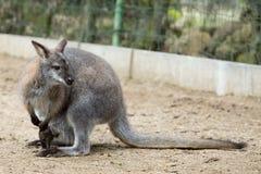 Zbliżenie Necked Wallaby zdjęcia stock
