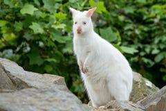 Zbliżenie Necked Wallaby albinosa biała kobieta obraz royalty free