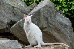 Zbliżenie Necked Wallaby albinosa biała kobieta fotografia stock