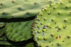Zbliżenie Nopal przeciwu espinas lub Opuntia bonkreta kaktusów lub kłującej błonie indgredient w Mexicn kuchni medycynie i naczyn Zdjęcie Royalty Free