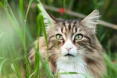 Zbliżenie Norweski lasowy kot w wysoką trawę obraz royalty free