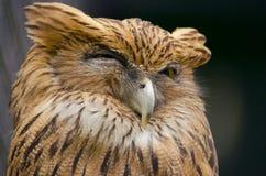 Śpiąca sowa zdjęcia royalty free