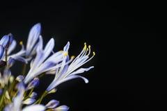 Zbliżenie odizolowywający agapanthus kwiat Fotografia Royalty Free
