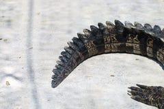 Zbliżenie ogon krokodyl obraz royalty free