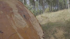 Zbliżenie ostatnio ciąca ogromna drzewna bela, bardzo świeży, z widocznym żywicą i wilgotnością zdjęcie wideo