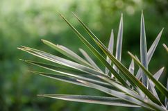 Zbliżenie ostra palma opuszcza przed zielonym rozmytym tłem, Maroko, afryka pólnocna Zdjęcie Royalty Free
