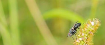 Zbliżenie owocowa komarnica na s roślinie Obraz Royalty Free