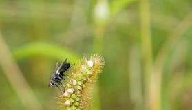 Zbliżenie owocowej komarnicy obsiadanie na roślinie Zdjęcia Royalty Free