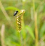 Zbliżenie owocowej komarnicy obsiadanie na roślinie Obraz Royalty Free