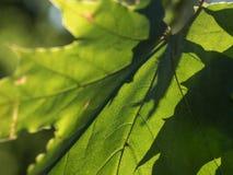 Zbliżenie płaskiego drzewa liść backlit jesieni słońcem obrazy royalty free