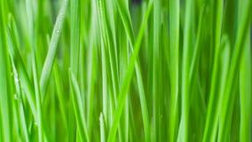 Zbliżenie płodozmienna świeża nowa wiązka zielona trawa na błękitnym tle zdjęcie wideo