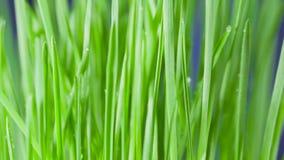 Zbliżenie płodozmienna świeża nowa wiązka zielona trawa na błękitnym tle zbiory wideo