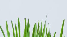 Zbliżenie płodozmienna świeża nowa wiązka zielona trawa na białym tle zdjęcie wideo