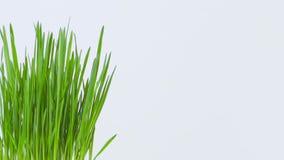 Zbliżenie płodozmienna świeża nowa wiązka zielona trawa na białym tle zbiory wideo