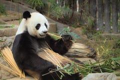 Zbliżenie panda je bambusowych drzewa i bambusa fotografia stock