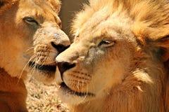 Zbliżenie para lwy fotografia stock