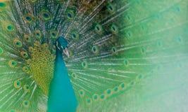 Zbliżenie paw w zielonej plamie zdjęcia royalty free