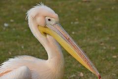 Zbliżenie pelikan zdjęcie stock