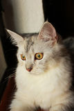 Zbliżenie perski kot z oka przyglądającym outside Obraz Stock