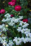 Zbliżenie piękna czerwona róż i białej wiosna kwitnie z zielonymi liśćmi zdjęcia royalty free