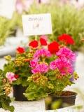 Zbliżenie piękne kolorowe róże w garnkach Zdjęcia Royalty Free