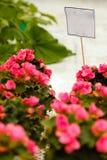Zbliżenie piękne kolorowe róże w garnkach Fotografia Royalty Free