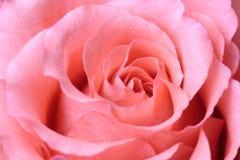 zbliżenie piękne menchie wzrastali Zdjęcie Royalty Free