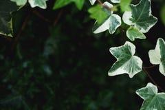 Zbliżenie piękni, bujny zieleni liście Pospolity bluszcz z rozmyty tła i kopii astronautyczny dostępnym, zdjęcia stock