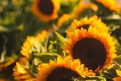Zbliżenie piękni słoneczniki w polu obrazy stock