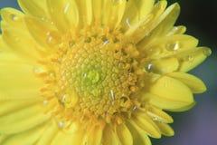 Zbliżenie piękny żółty kwiat, makro- fotografia, rosa krople lub woda, opuszcza na kwiacie zdjęcia royalty free