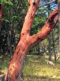 Zbliżenie piękny artbutus drzewo podczas gdy chodzący żółtego los angeles zdjęcie royalty free
