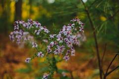 Zbliżenie piękny bez kwitnie kwitnienie w lesie obraz stock