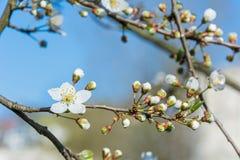 Zbliżenie piękny biały okwitnięcie na gałąź w wiośnie obrazy royalty free