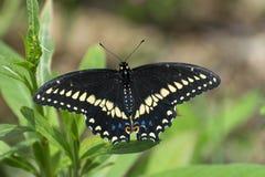 Zbliżenie piękny Czarny Swallowtail motyl Fotografia Royalty Free