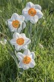 Zbliżenie piękny Daffodil kwitnie na zamazanym tle Fotografia Royalty Free