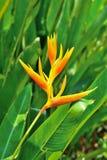 Zbliżenie piękny heliconia kwiat Zdjęcie Stock