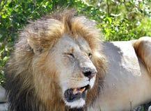Zbliżenie piękny lew Fotografia Stock