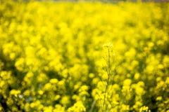 Zbliżenie piękny ogrodowy kwiatu pole troszkę kwitnie backg Obrazy Royalty Free