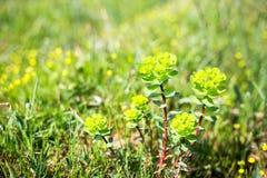 Zbliżenie piękny ogrodowy kwiatu pole troszkę kwitnie backg Fotografia Stock