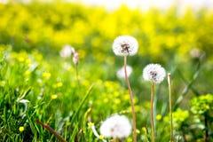 Zbliżenie piękny ogrodowy kwiatu pole troszkę kwitnie backg Zdjęcie Stock