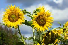 zbliżenie piękny słonecznik Zdjęcia Royalty Free
