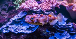 Zbliżenie piegowaty jeżatki ryby dopłynięcie w akwarium, tropikalna ryba od atlantyckiego oceanu obrazy stock