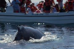 Zbliżenie plecy humpback wieloryb i turystyczna łódź w Samana, Domino Zdjęcia Royalty Free