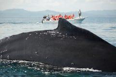 Zbliżenie plecy humpback wieloryb i turystyczna łódź w Samana, Domino Zdjęcia Stock