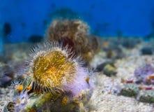 Zbliżenie plumose denny anemon z żółtymi i białymi kolorami, morskiego życia tło zdjęcia stock