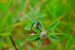Zbliżenie pluskwy życie na kwiat roślinie w zieleni zamazywał tło Zdjęcie Royalty Free
