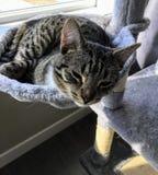 Zbliżenie połówka średniego rozmiaru uśpionej figlarki przyrodni otwarcie ona oczy gdy śpi w rozszerzonym pucharze jej kota dom zdjęcia stock